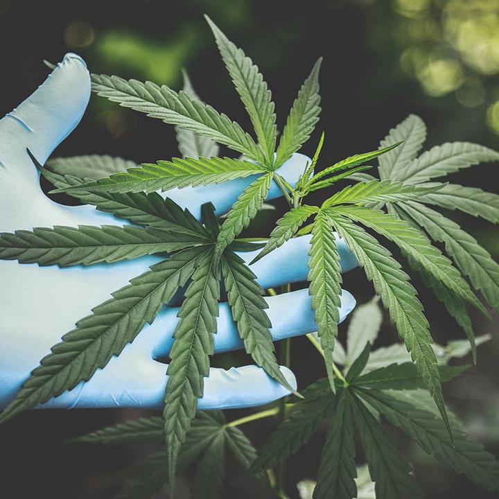 Nettoyage pour le cannabis
